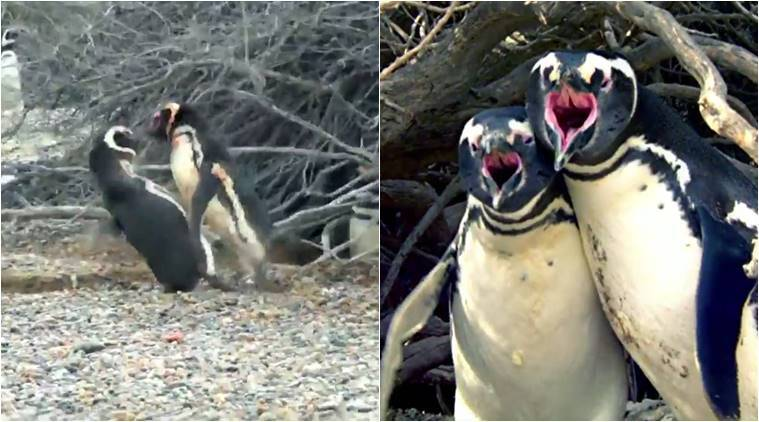 animal videos, penguin lovers fight, nat geo videos, nat geo penguin video, penguin lovers fight video, animal fight video, fight night, lovers spat, indian express, indian express news