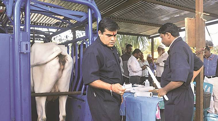 A veterinarian collects oocytes from donor cows .