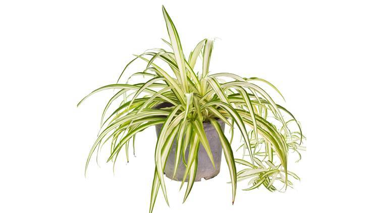 Photo of the Anthesicum Vittatum in plastic pot on white background