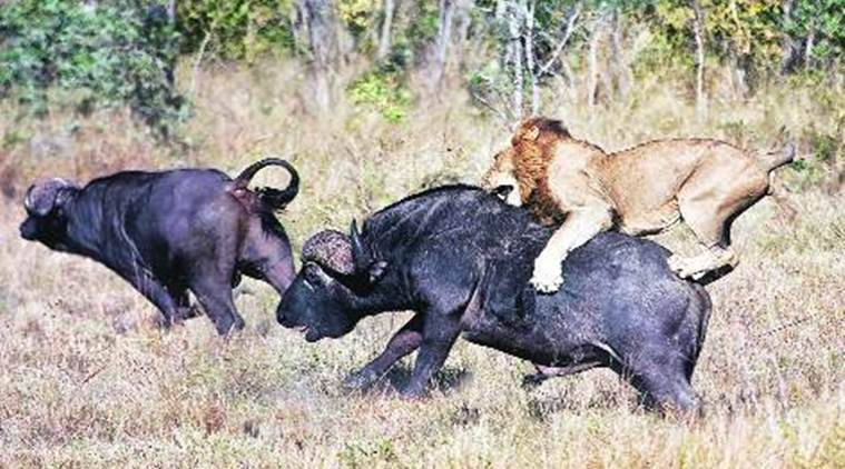 survival of the fittest, animal survival attack, animal predator, wild animal attack, animal attack traits, lifestyle news, sunday eye, express eye, eye 2016, indian express