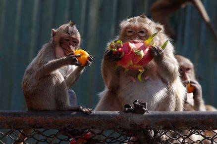 thailand monkey festival, monkey buffet festival, monkey feast, thailand monkey feast, Lopburi province fest, Monkey Buffet Festival 2016, Phra Prang Sam Yot temple, indian express, indian express news