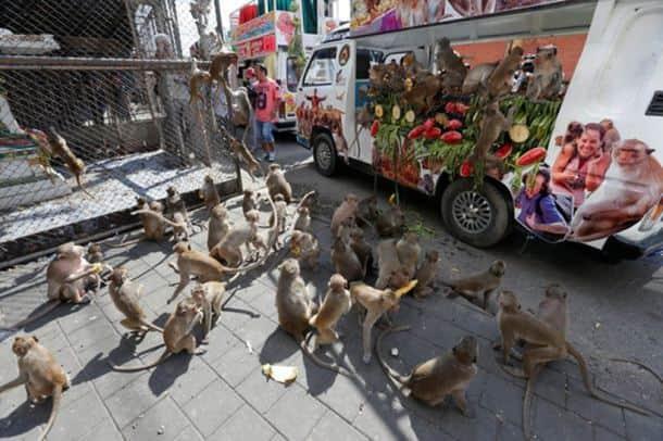 thailand monkey festival, monkey buffet festival, monkey feast, thailand monkey feast, Lopburi province fest, Monkey Buffet Festival 2016, Phra Prang Sam Yot temple, indian express, indian express news