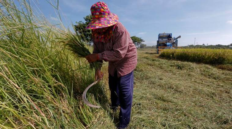 Thailand rice committee, white paddy, Pathum Thani fragrant rice, Thailand farmer loans, Thailand news, world news, latest news, indian express