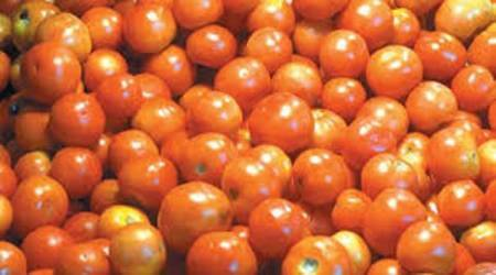 Madhya Pradesh, Madhya Pradesh tomatoes, tomato farmers, tomatoes india, tomatoes madhya pradesh, tomato prices, tomato prices crash, mp tomatoes, indian express, india news
