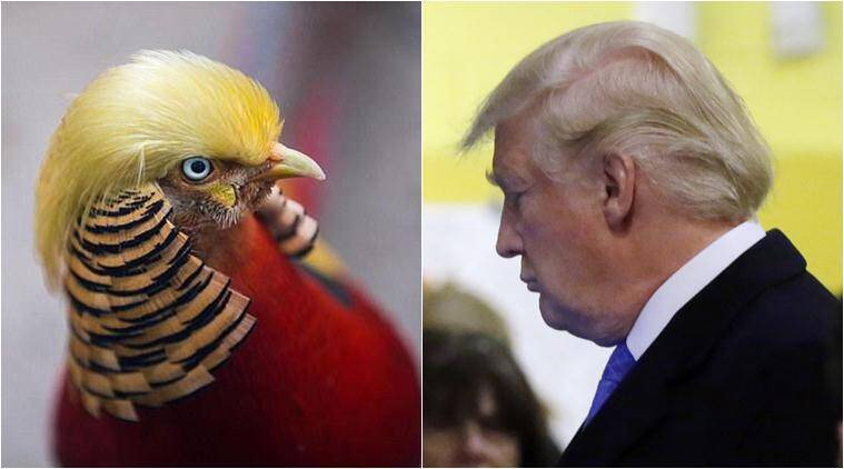 donald trump, trump bird, china zoo trump bird, chinese pheasants trump, donald trump hairstyle, trump hair chinese pheasants, china news, usa news, world news, viral news, latest news, indian express