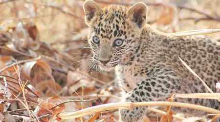 Maharashtra has lost more leopards till now than in whole of2017