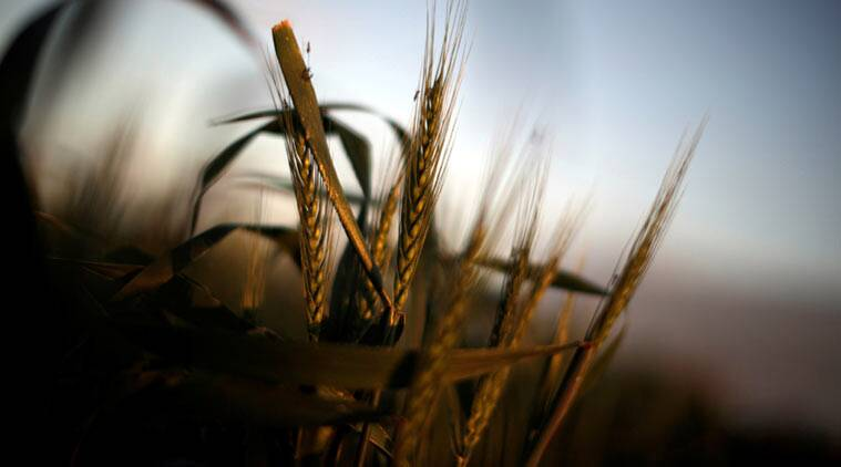 import duty on wheat, scrapping of import duty wheat, wheat import duty, arun jaitley wheat import duty, wheat farmer, farmer import duty wheat, india news