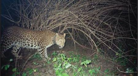 leopard, leopard killing gurgaon, India leopards, leopard study, news, latest news, India news, national news, environment news