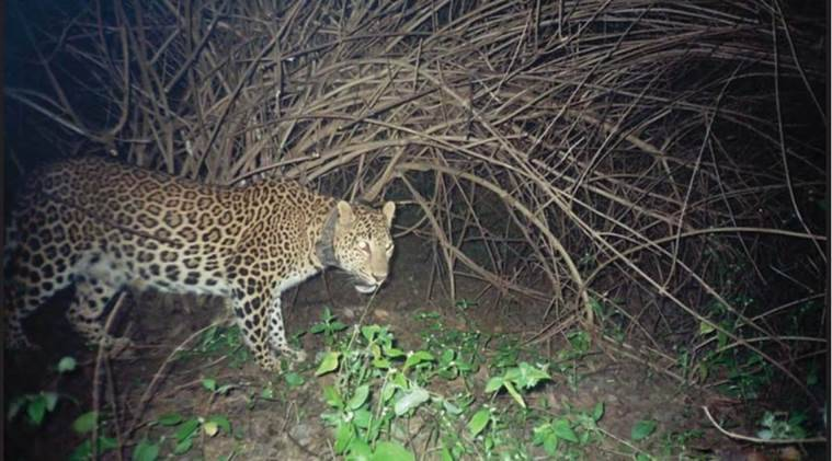 leopard, leopard killing gurgaon, India leopards, leopard study, news, latest news, India news, national news, environment news