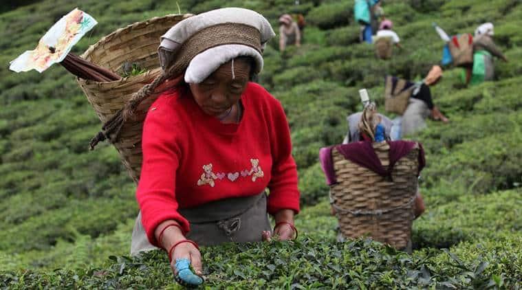 Assam tea garden lands