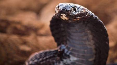 Four-foot-long cobra creates panic at JNU campus