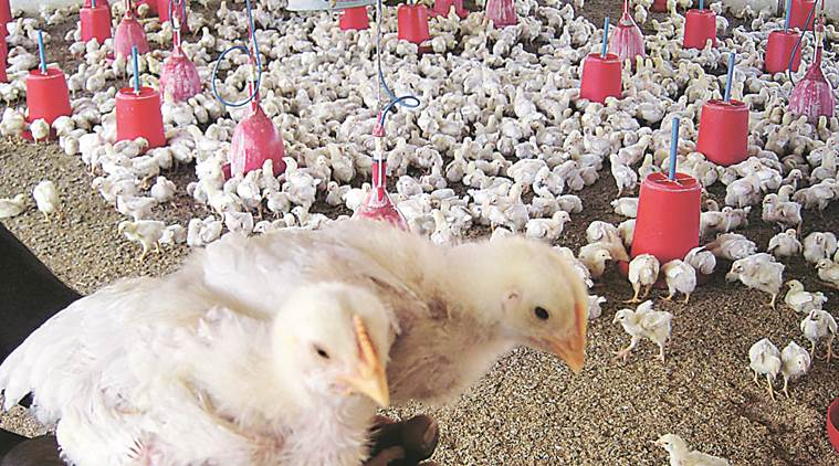 Usually high in March, poultry prices fall in city, experts blame early summer