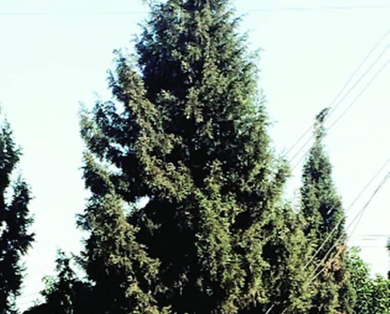 Juniper, Christmas tree Juniper, Juniper Christmas tree, Christmas tree, special Christmas tree, Christmas, Chandigarh, regional news, Indian Express