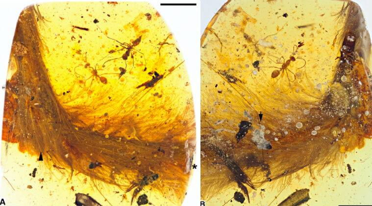 dinosaurs, dinosaur fossil, dinosaur amber remains, feathered dinosaurs, Cretaceous period, paleontologist findings, maniraptoran, Jurassic Period, evolution of dino feathers, science, science news