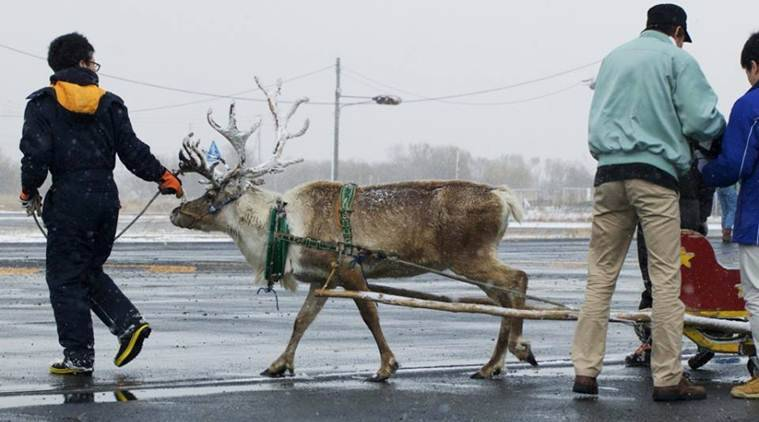 Reindeer, Reindeer shrink, arctic climate change, Reindeer shrinking arctic, arctic climate change, santa, santa claus, climate change, climate change news, santa claus Reindeer, christmas, trending, globally trending, indian express, world news