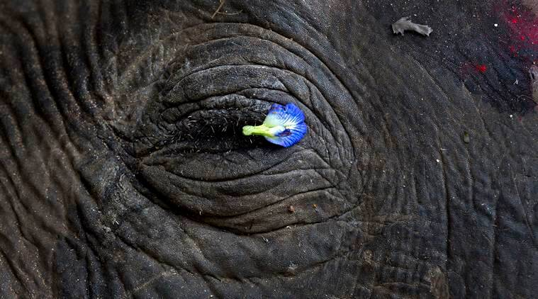 A flower petal is placed on the eye of a wild Asiatic male elephant at Amgaon, near Gauhati, the capital of the northeastern Indian state of Assam, Saturday, Dec. 3, 2016. According to forest officer R.K. Das, the elephant died after it was electrocuted by a high tension electric wire when it was searching for food on the border of Amchang wildlife sanctuary on Friday night. (AP Photo/ Anupam Nath)