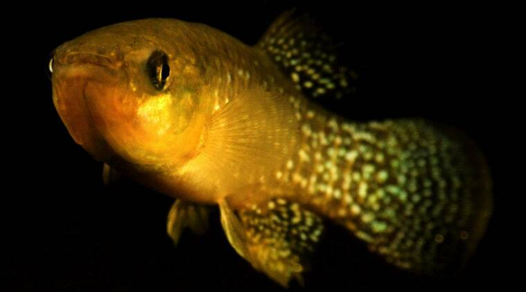 atlantic killifish, killifish diversity, pollution tolerant killifish, killifish environment tolerance, killifish environment adaptation, Environmental Toxicology, science, science news