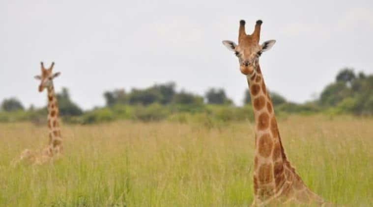giraffe, giraffes, africa, red list, endangered species, africa giraffes, extinct species, extinct animals, world news