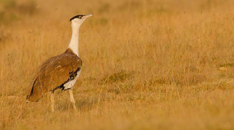 Great Indian Bustard, India, Indian exortic breeds, Indian Birds, Birds in India, Rare Birdsin India, India news, India Wildlife, Wildlife in India, Latest news, India news