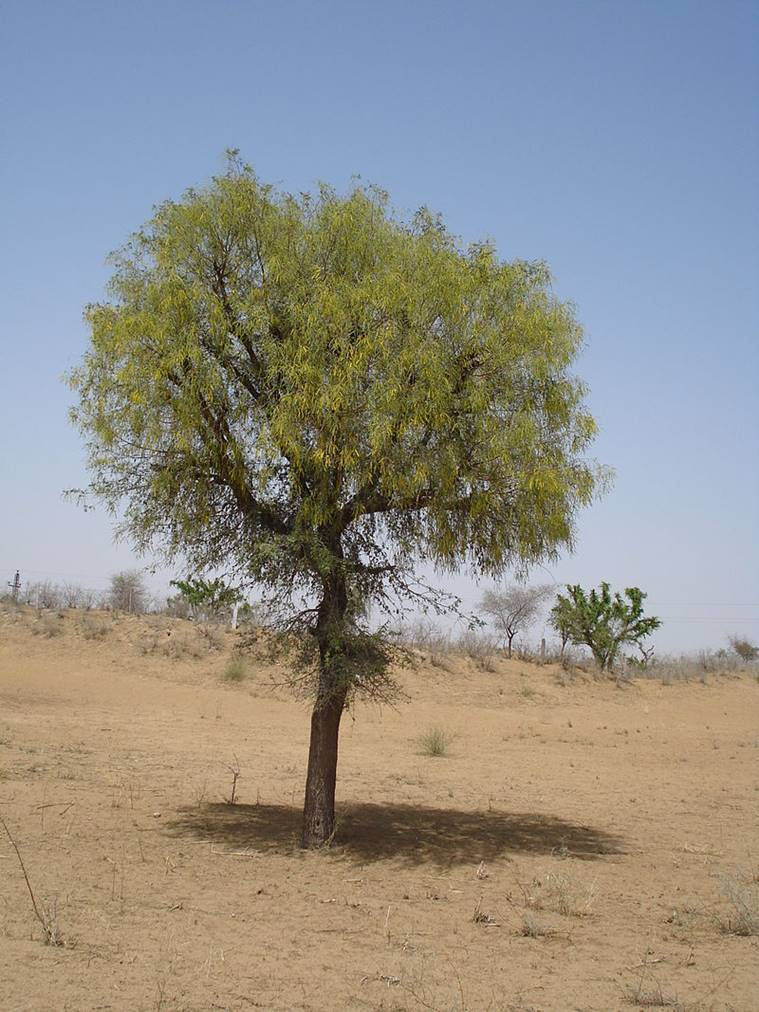 Khejri tree in Rajasthan. Wikipedia photo