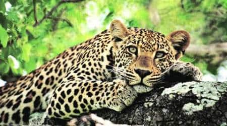 Sariska, Sariska leopard, leopard free, jaipur zoo, jaipur zoo leopard, Sariska tiger reserve, rajasthan forest department, leopard attack, man eater leopard, Sariska man eater leopard, indian express news, india news