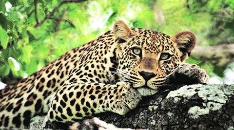 Leopards freed from zoo, Sariska counts its dead