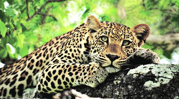 Should the leopard be released into the Kamala Nehru Ridge in Delhi? We will have solved the monkey menace problem in one fell swoop in an eco-sensitive way.