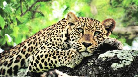 Gujarat: Two women mauled to death by leopards in separateincidents