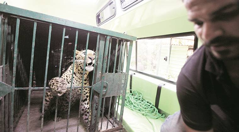 The animal was handed over to the forest department.