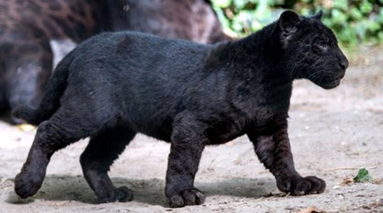 Image result for panther cub