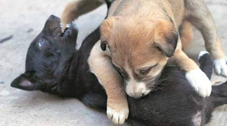 Case registered after car runs over three puppies, killing one
