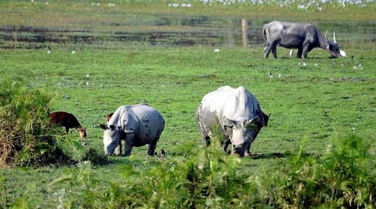 Kaziranga: A one horn rhino and its baby graze inside the Kaziranga National Park in Nagaon district of Assam on Wednesday. PTI Photo  (PTI11_17_2016_000274A)