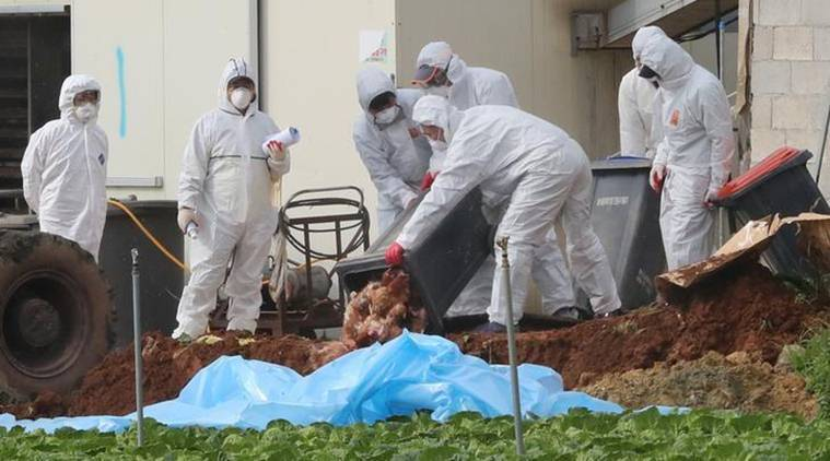 South Korea poultry, south korea poultry movement, south korea bird flu, bird flu, bird flu virus, h5n6 virus, south korea news, world news, latest news, indian express