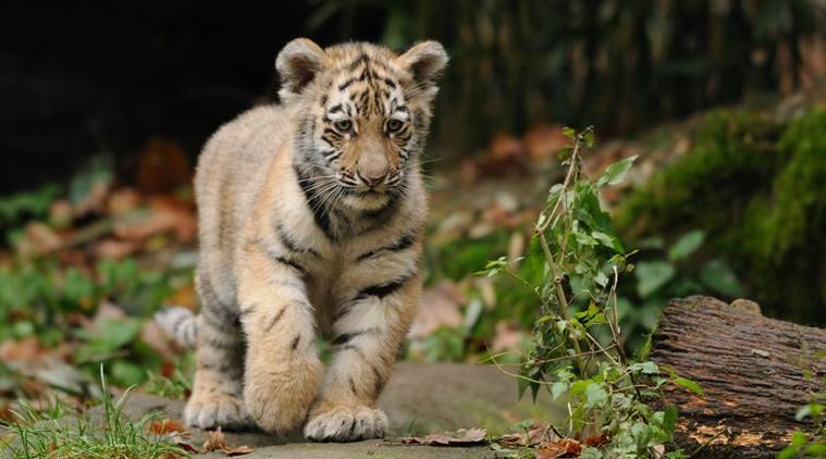 Cubs of T1, Cubs killed pony, Chief Conservator A K Mishra, Mumbai news, latest news, Indian Express