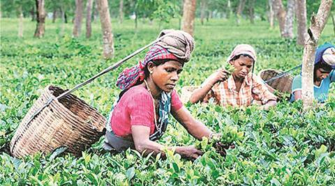 Tea garden workers in Bengal: 'No banks close by, delay in wages could lead to starvation'