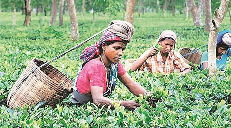 Tea garden, bengal Tea garden, Tea garden worker, Tea garden worker strike, Tea garden strike, Tea garden worker wages, wages strike, indian express, kolkata news