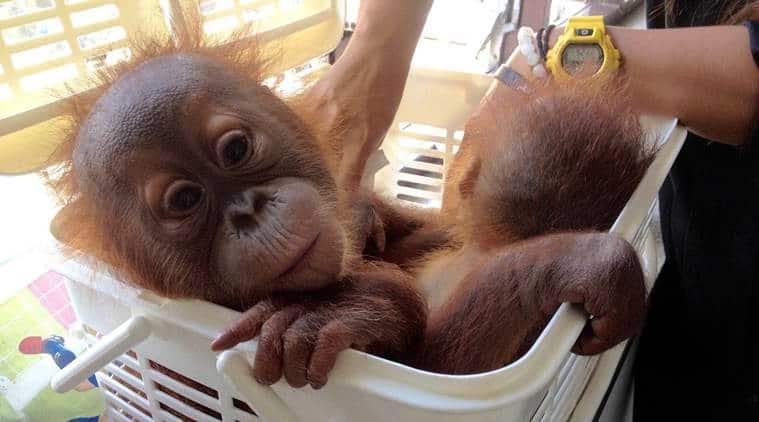 Thailand, orangutan babies, orangutan babies rescued, wildlife traffickers, wildlife, thai police, thai police sting operation, world news, indian express news