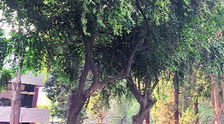 Child life tree Chandigarh, Chandigarh child life tree, Baba Ramdev, Ramdec fertility drug, fertility drug, Chandigarh tree, fertility drug tree, Chandigarh, regional news, Indian Express