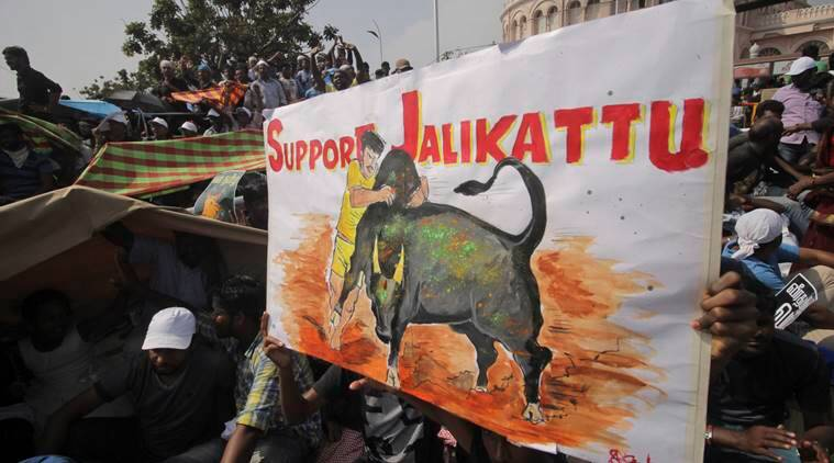 Jallikattu, Jallikattu ban, Supreme Court on Jallikattu, SC Jallikattu, Tamil Nadu Jallikattu, Tamil Nadu government Jallikattu, People for the Ethical Treatment of Animals (PETA) , PETA Jallikattu, India News, Indian Express News