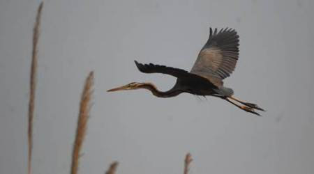 herons, birdwatching, bird watching, Night herons, Night herons habitat, heron habitata, heron watching, bird sightings tips, indian express, eye magazine, sunday eye, eye 2017