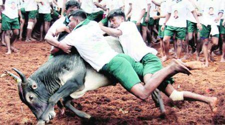jallikattu, jallikattu ordinance, jallikattu ban, jallikattu protests, jallikattu, tamil nadu governor, india news