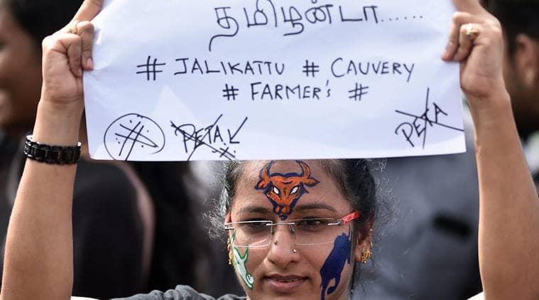 Jallikattu,Jallikattu protests,Jallikattu ban, Jallikattu deaths, Jallikattu today, Jallikattu updates,Jallikattu live updates,Jallikattu events,Jallikattu latest updates, Tamil Nadu Jallikattu,O Panneerselvam, Jallikattu agitation, Marina Beach protests, India news, Indian Express news