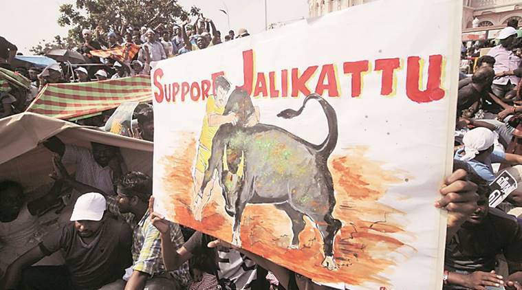 jallikattu, jallikattu protests, Jallikattu marina, tamil nadu, tamil nadu jallikattu, marina protest, marina jallikattu, tamil nadu, jallikattu update, Vidyasagar Rao,O Panneerselvam, jallikattu injury, tamil nadu, tamil nadu protests, chennai, chennai ptotests, what is jallikattu, chennai jallikattu protests, chennai news, tamil nadu news, indian express news