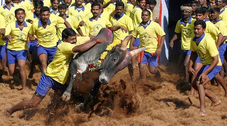 Man vs Beast: Jallikattu in Palamedu,Tamil Nadu. (Source: AP)