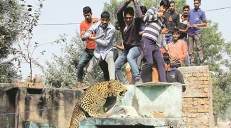 Gurgaon leopard attack: Four months after attack, another leopard spotted