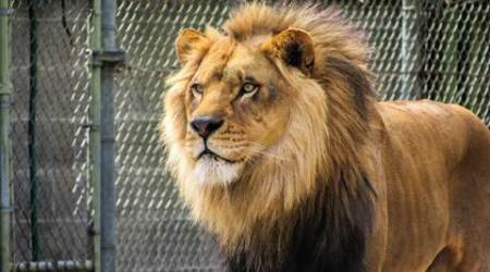 Oldest lion of Chhatbir zoo dies at25