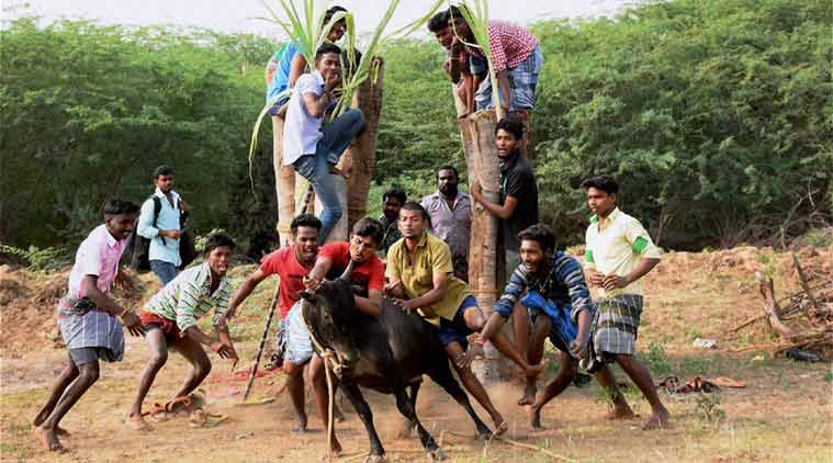 No Bull This Could Be Why Tamil Nadu Is Obsessed With Jallikattu
