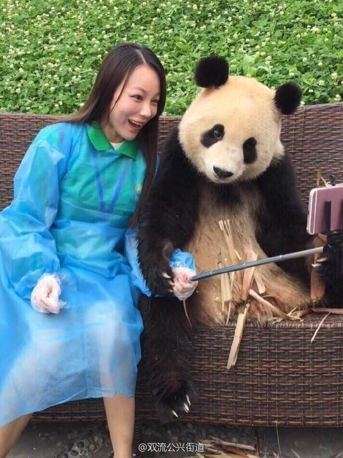 china, panda, giant panda, panda viral videos, panda cute pictures, panda clicking selfie, panda selfie viral pics, Dujiangyan Research Base, Dujiangyan panda selfies, china panda selfies, viral news, latest news
