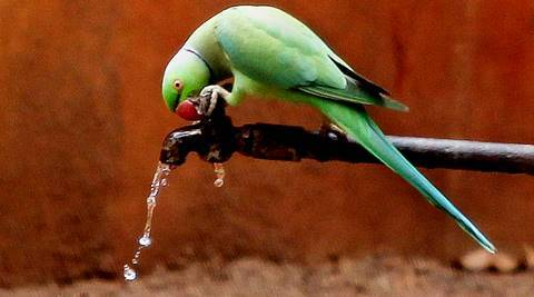 A parrot quench its thirst on a hot summer Friday in Vadodara. Express Photo by Bhupendra Rana. 23.05.2016. *** Local Caption *** A parrot quench its thirst on a hot summer Friday in Vadodara. Express Photo by Bhupendra Rana. 23.05.2016.