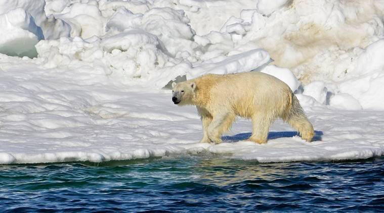 Polar Bears Are Now Facing Another Threat to Their Survival